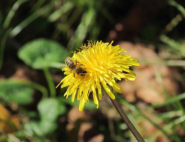 Dandelion Animal Physical Bee Honey Bee Pollinatio