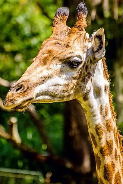 Giraffe Menagerie Animals Faunae Zoo