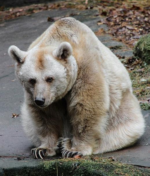 Animal Physical Tolerate Brown Bear Bear Predator