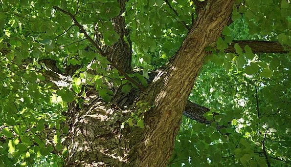 Deciduous Tree Tree Sapling Linden Green Lime Soli