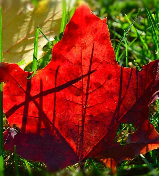 Foliage Greenery Fall Red Bloodshot Autumn