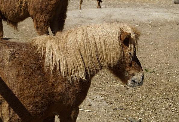 Shetland Pony Horse Mount Pony Small Minor Ride Co