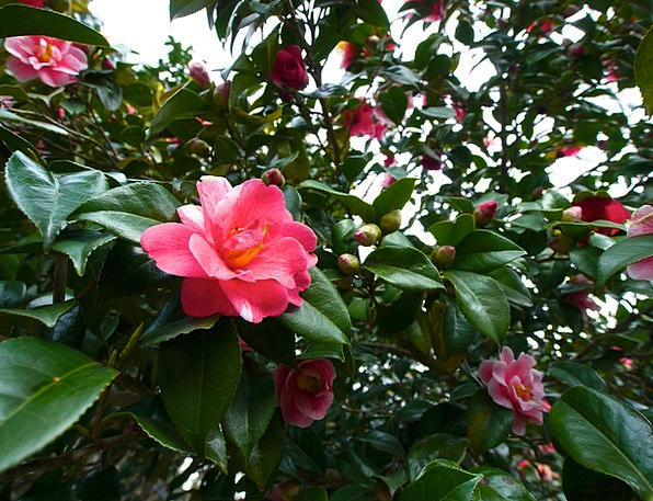 Camellia Landscapes Plants Nature Red Bloodshot Fl