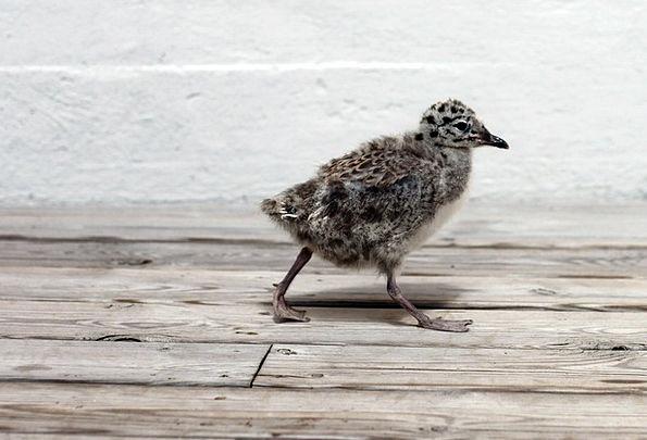 Seagull Chicken Bird Fowl Chick Fauna Wildlife Bir