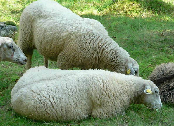 Sheep Ewe Flock Herd Flock Of Sheep Wool Pasture A