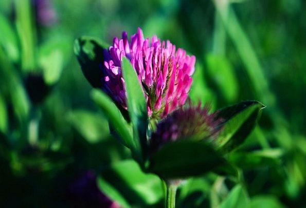 Clover Flower Landscapes Floret Nature Klee Flower
