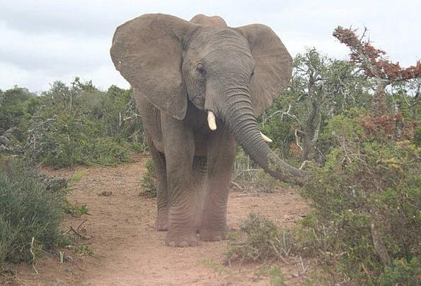 Elephant Monster Nature African Wildlife Safari Tr