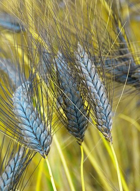 Emmer Landscapes Nature Cereals Mueslis Urkorn Foo