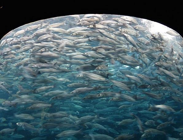 Fish Swarm Fish Angle Sardines Sardina Pegs Swarm