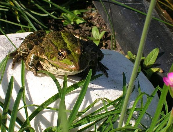 Frog Pool Garden Plot Pond High Water Aquatic Toad