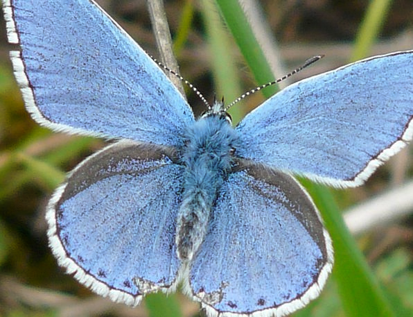 Butterfly Nerves Common Blue Butterflies Restharro