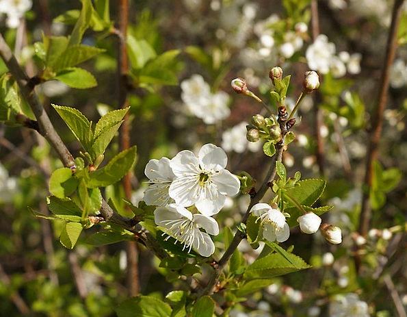 Cherry Blossom White Blossom Japanese Cherry Trees