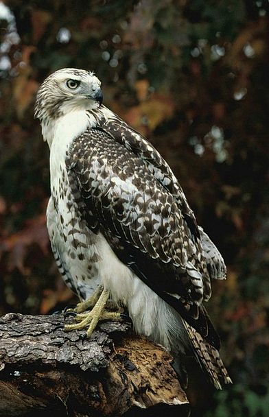Log Record Stand Up Hawk Warmonger Standing Tailed
