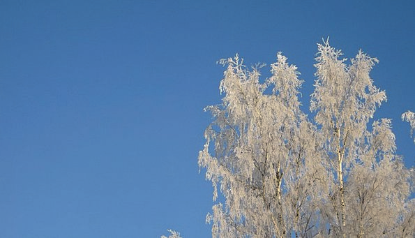 Birch Trees Season Frost Ice Winter Branches Twigs