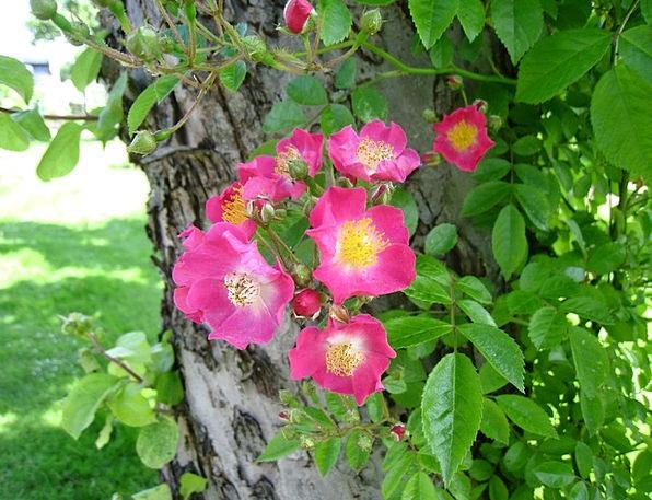 Roses Designs Humble Pink Flushed Simple Tree Sapl