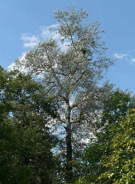 Populus Alba Sapling Poplar Tree White Poplar Deri