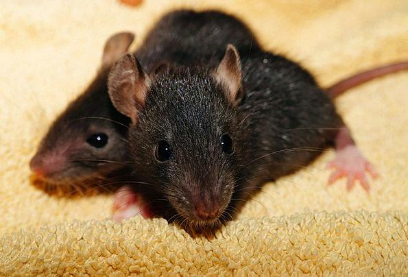 Rat Swine Black Dark Rat Babies Young New Nager He