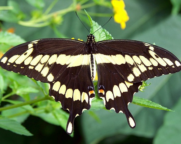 Butterfly Monarch Ruler Insect Caterpillar Wings A
