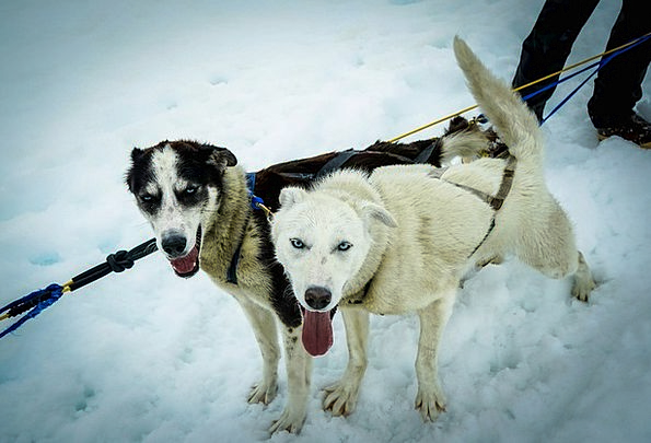 Sled Dogs Dog Sled Alaska Iditarod Sled Bobsled Pu