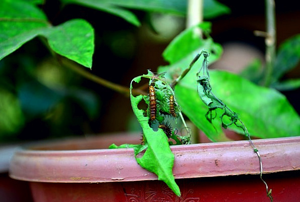 Caterpillars Worms Consumption Leaves Greeneries E