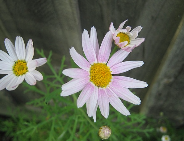 Daisies Floret Pink Flushed Flower Delicate Blosso