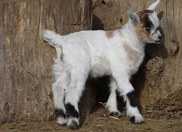 Goat Animal Physical Goats Mammals Creatures Farm