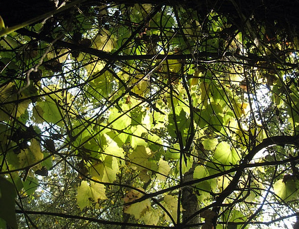 Leaves Greeneries Autumn Lights Wild Grapes Sunshi