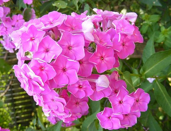 Blooms Garden Plot Flowers Paniculata Plants Peren