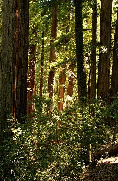 Giant Huge Landscapes Nature Trees Plants Redwood