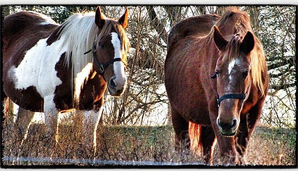 Horses Cattle Chocolate Brown And White Brown Spot