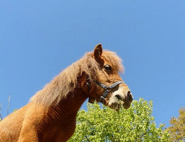 Pony Mount Shetland Pony Horse Animal Physical Nic