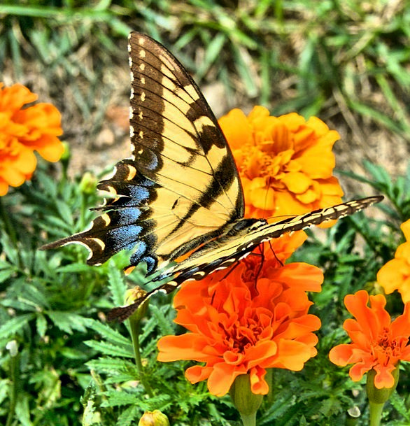 Butterfly Bug Old World Insect Swallowtail Flora Y