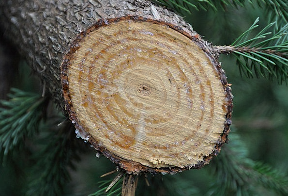 Tree Sapling Drink Ounce Food Wood Timber Grain Re