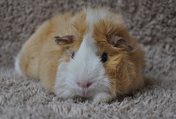 Guinea Pig Animal Physical Rodent Rosette Badge Sw