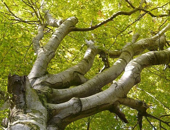Beech Sapling Aesthetic Artistic Tree Massive Huge