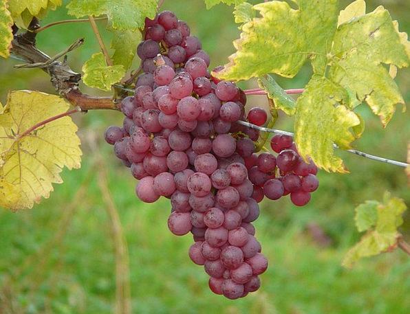 Grape Landscapes Nature Plant Vegetable Grapes Win
