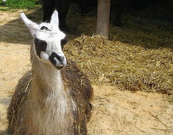 Lama Monk Menagerie Farm Farmhouse Zoo Animal Phys