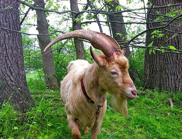 Goat Farmhouse Animal Physical Farm Pasture Cute A