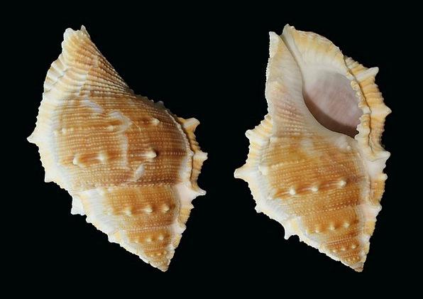 Sea Snail Bufonaria Perelegans Snail Shell Bomb Se