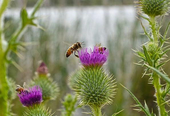Bee Landscapes Nature Macro Instruction Scotch Thi