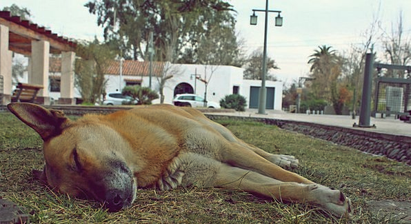 Dog Canine Sleep Slumber Siesta Animals Faunae Res