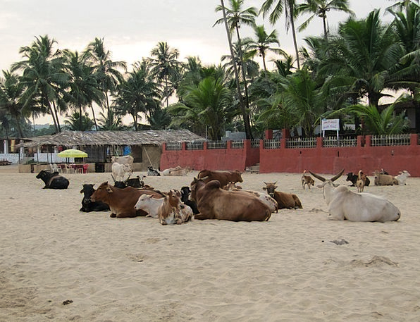 India Vacation Travel Beach Seashore Goa Cows Inti