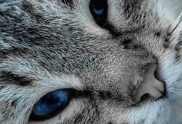 Cat Feline Judgments Pet Domesticated Eyes Cat Eye