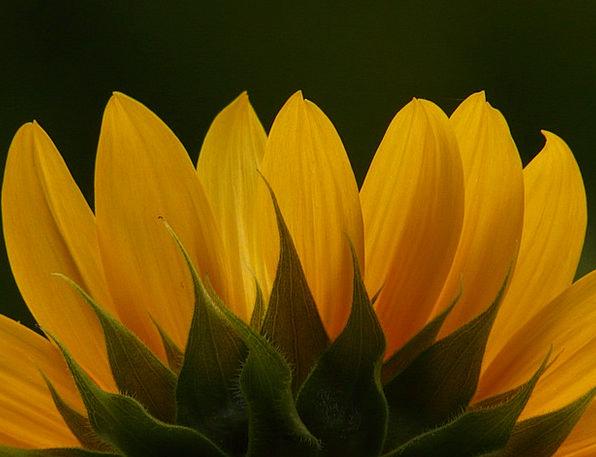 Tongue Flower Landscapes Nature Helianthus Annuus