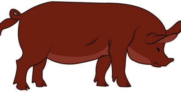 Pig Glutton Beef Animal Physical Livestock Swine H