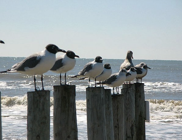 Seagulls Vacation Bight Travel Ocean Marine Gulf S