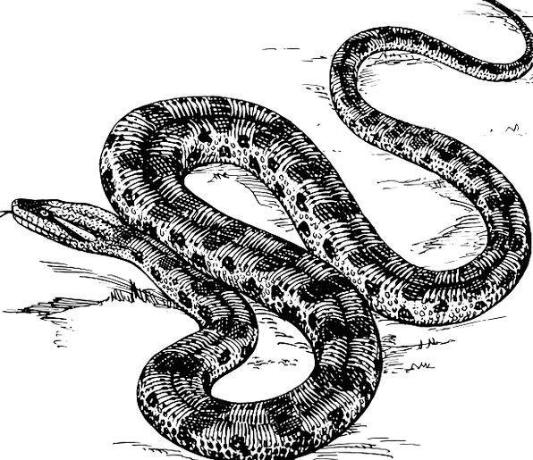 Snake Serpent Anaconda Reptile Amazon Curled Wild