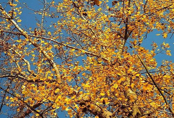 Leaves Greeneries Fall Golden Autumn Autumn Canadi