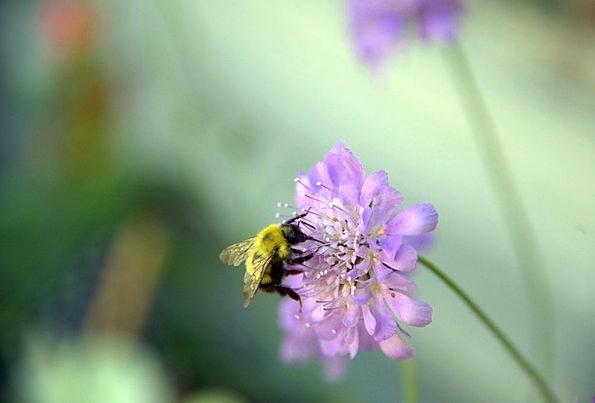 Bee Floret Barnsdale Gardens Flower Honeybee Insec