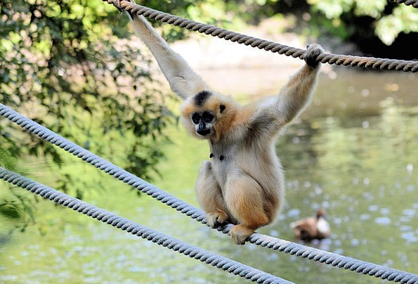 Monkey Chimpanzee Gibbon Ape Environment Animal Ph